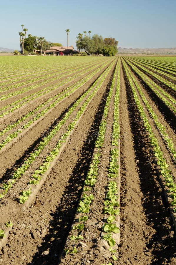 Download Lettuce Field Royalty Free Stock Images - Image: 14942159