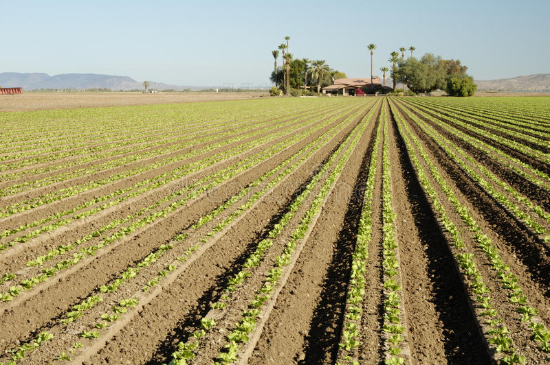Download Lettuce field stock photo. Image of irrigated, farm, planted - 15143198