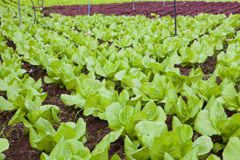 Download Lettuce field stock photo. Image of industrial, nature - 22024938