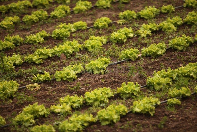 Download Lettuce Field stock image. Image of green, harvest, salad - 22996063
