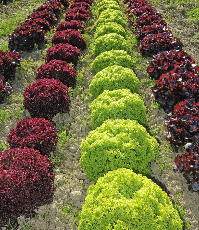Download Lettuce field stock photo. Image of fresh, closeup, salad - 24720106