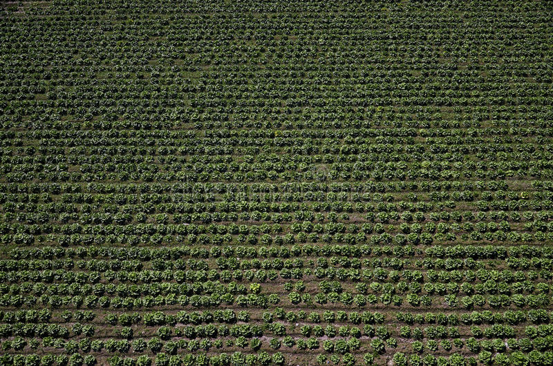 Lettuce field, agricultural field stock image