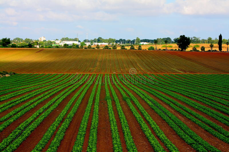 Lettuce field in Israel stock photo