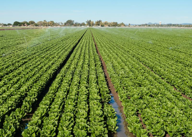 Irrigating a field of Lettuce. Lettuce field in Yuma, Arizona, the Winter lettuce capital of the USA royalty free stock images