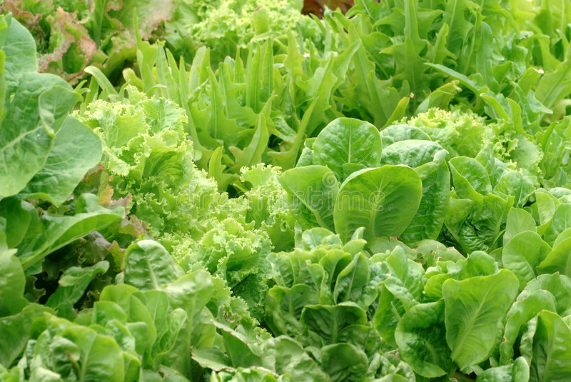 Lettuce Garden. A garden packed with many varieties of lettuce royalty free stock photo