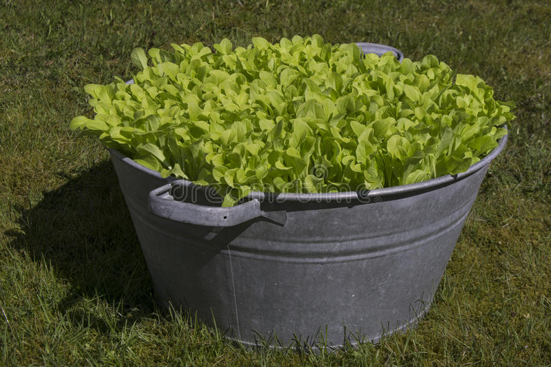 Lettuce In Garden Bowl on Grass royalty free stock photo