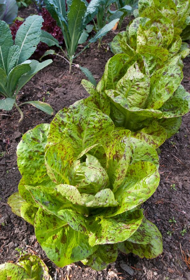 Free Lettuce Garden - Lactuva Sativa Freckles Royalty Free Stock Images - 174216369
