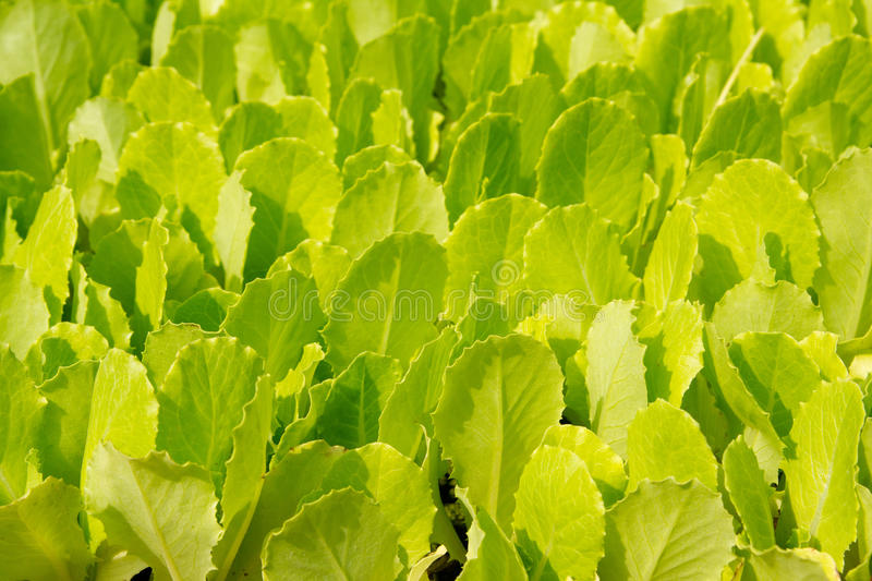 Lettuce Green Little Sprouts Growing Royalty Free Stock Photos