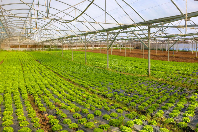 Lettuce Greenhouse stock photos