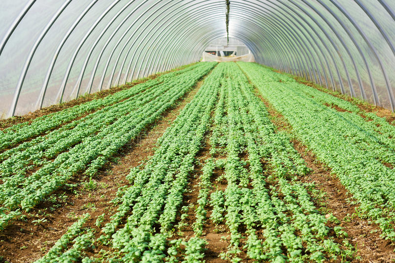 Lettuce growing in a greenery stock images