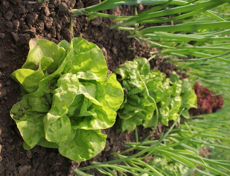 Free Lettuce Growing In Soil Royalty Free Stock Image - 25392826