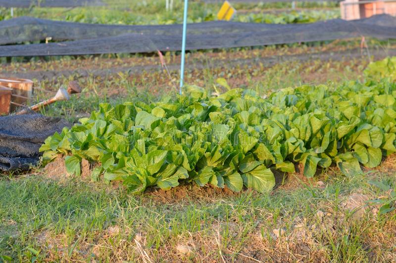 Lettuce. Grown in the field in Thailand stock images