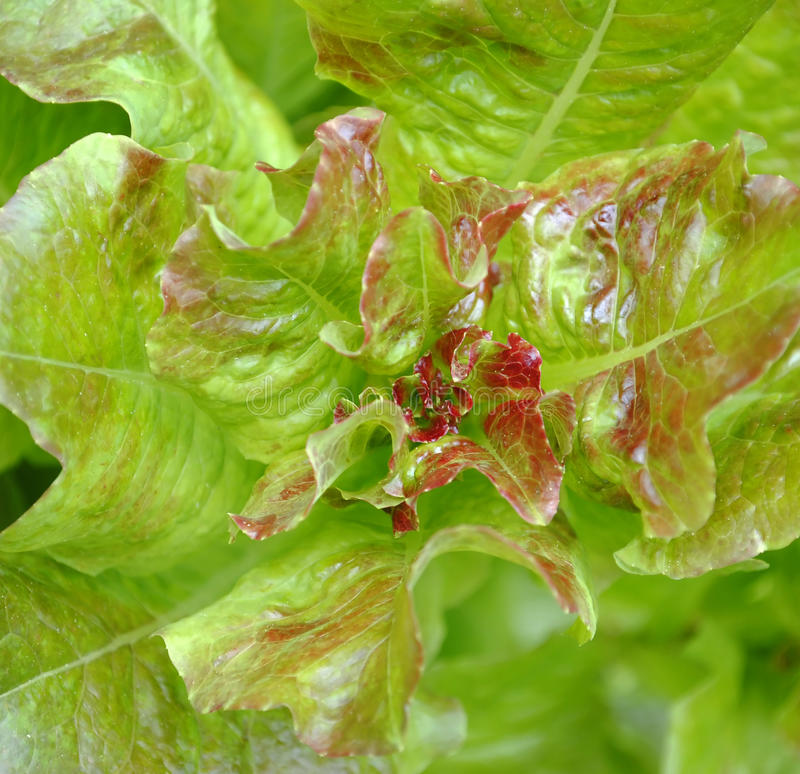 Lettuce isolated stock images