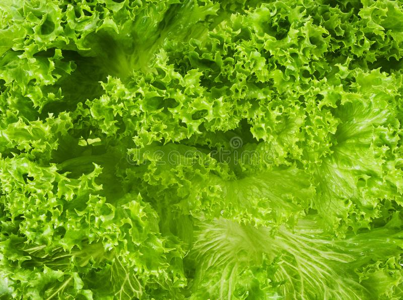 Lettuce leaf green fresh salad close-up background or texture stock photography