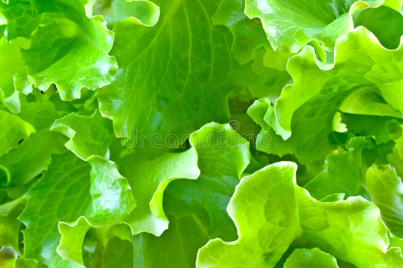 Lettuce Leaves Stock Images