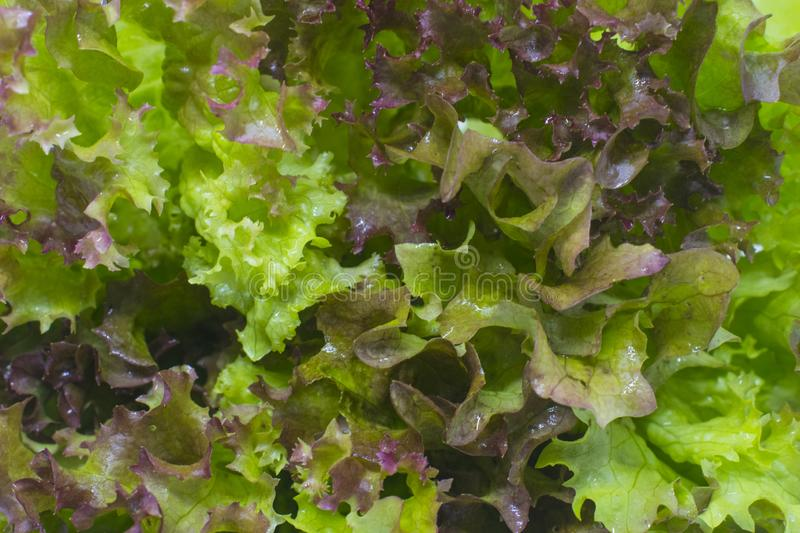 Lettuce leaves. Close-up photo royalty free stock photos