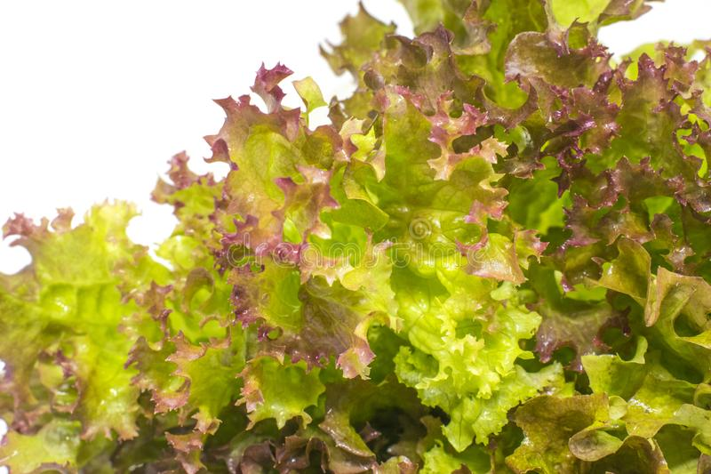 Lettuce leaves. Close-up photo royalty free stock photo