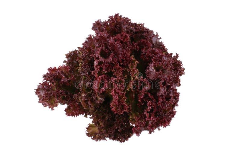 Lettuce - lollo bindo royalty free stock photo