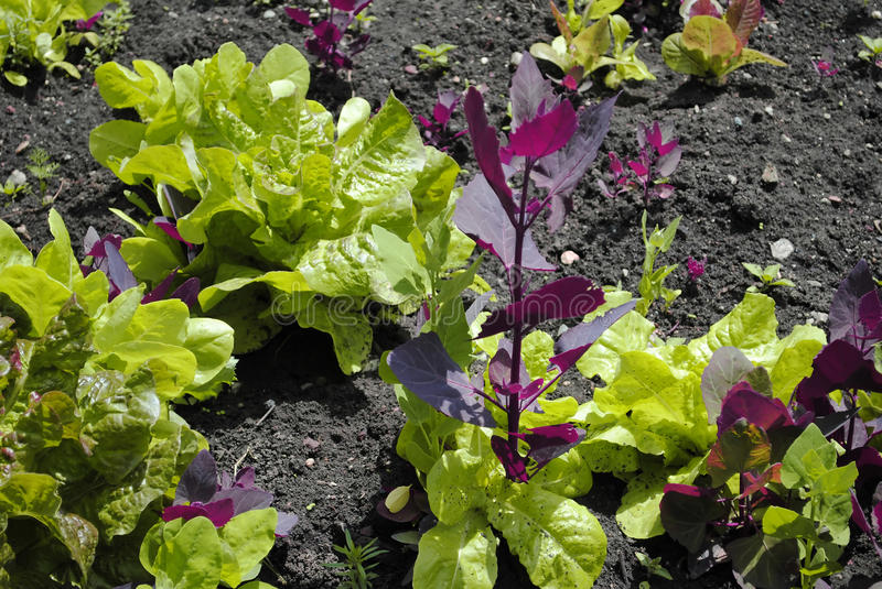 Lettuce and orache stock photography