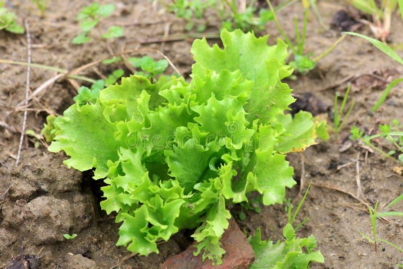 Lettuce plant stock image