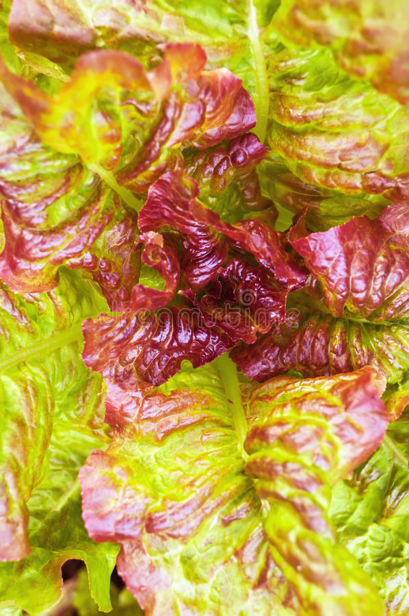 Download Lettuce plant in field stock photo. Image of cultivation - 33083086