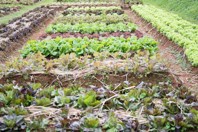 Lettuce Plant Growing In Vegetable Garden. Soil Cultivation. Agr ...