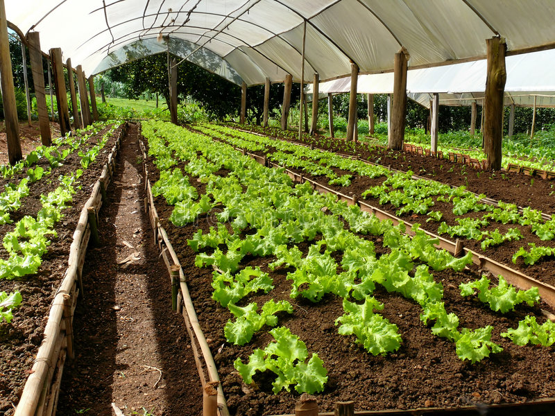 Lettuce plantation. Lettuce cultivation on a greenhouse on a small farm stock image