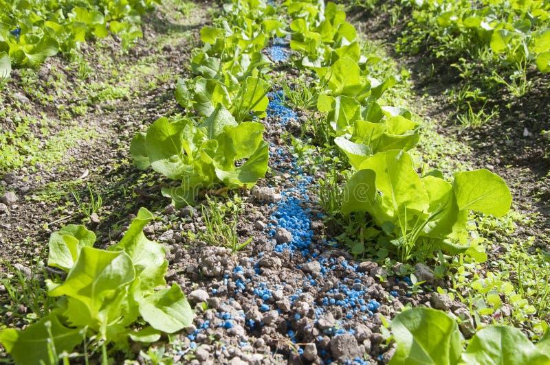 Lettuce planting stock photos