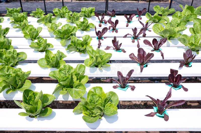 Lettuce Plants growing with Hydroponic System, Hydroponic vegetables. Outdoor royalty free stock photos