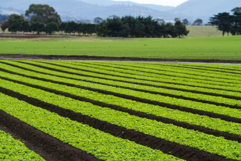 Lettuce plants in rows in farm field royalty free stock photos