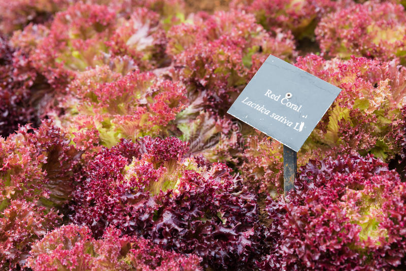 Lettuce or Red coral. Lettuce, Red coral, Lactuca sativa vegetable with sign in garden stock photography