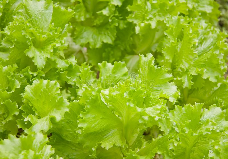 Lettuce Salad Free Stock Photos