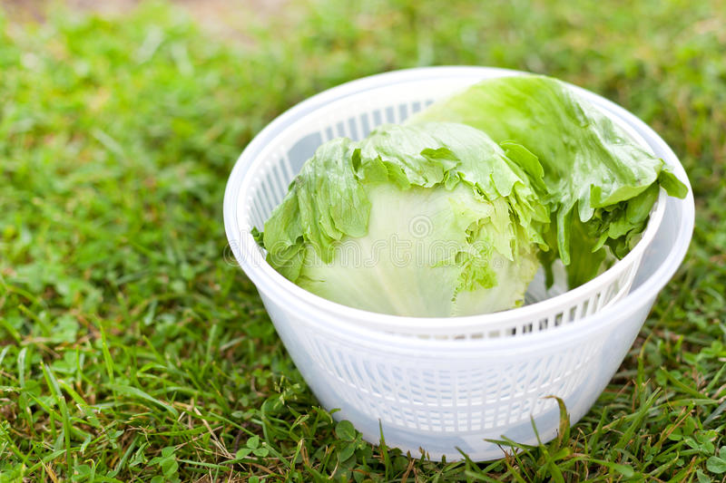 Lettuce salad in spinner. Salad spinner with iceberg and red lettuce, diet concept stock image