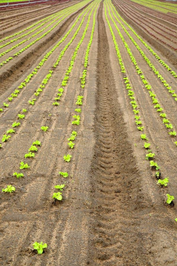 Lettuce-seedlings Royalty Free Stock Images