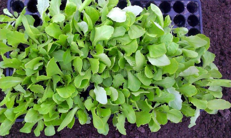 Download Lettuce Seedlings stock image. Image of soil, food, lettuce - 38433389