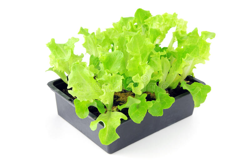 Lettuce seedlings on a tray box on isolated background stock image