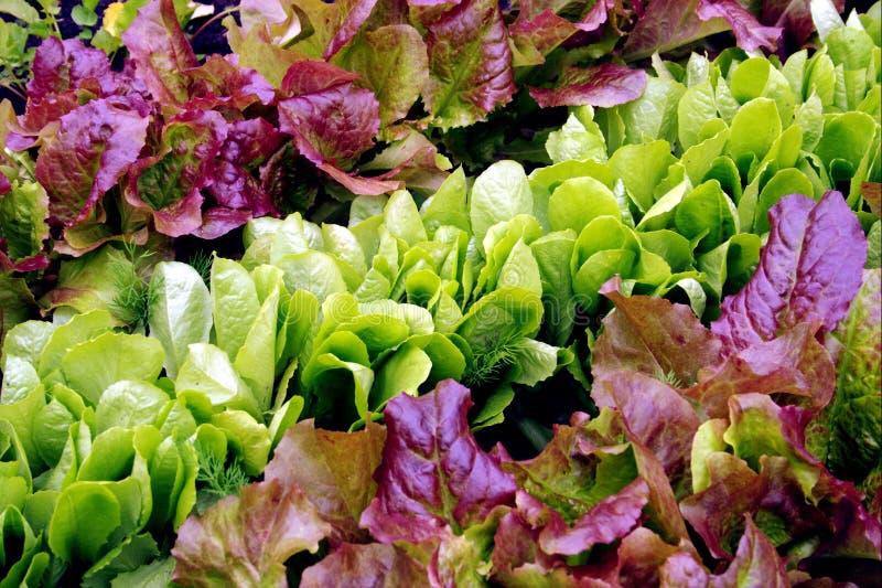Lettuce seedlings in varieties. Red-leaf Lettuce and Romaine Lettuce seedlings royalty free stock photos