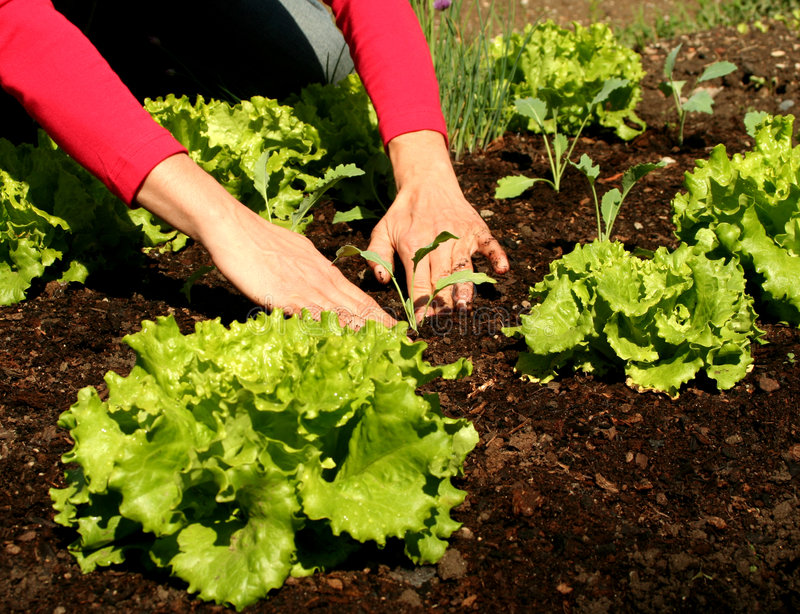 Download Lettuce To Plant In Fresh Soil Stock Photo - Image: 5743582
