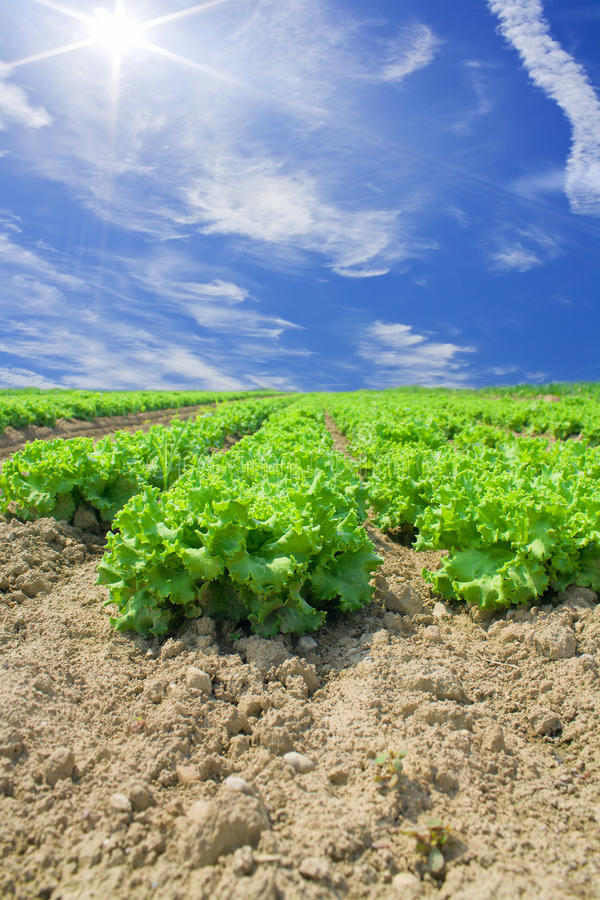 Lettuce and vegetable field stock photos
