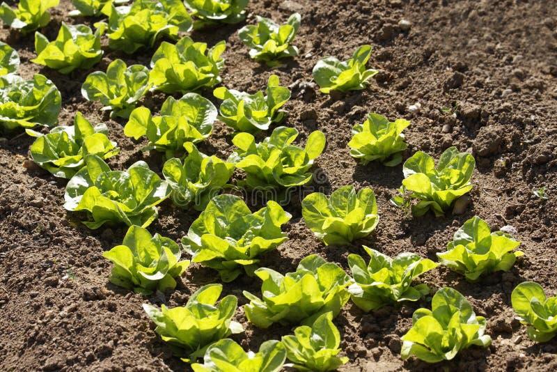 Lettuce in vegetable garden stock photography
