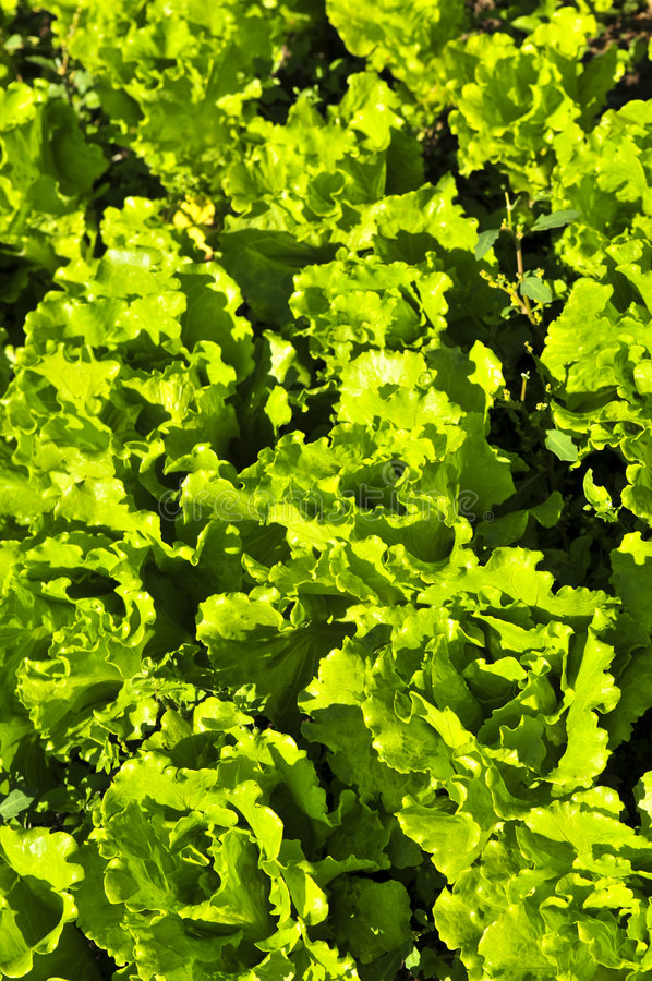 Download Lettuces Growing In A Garden Stock Image - Image: 7474477