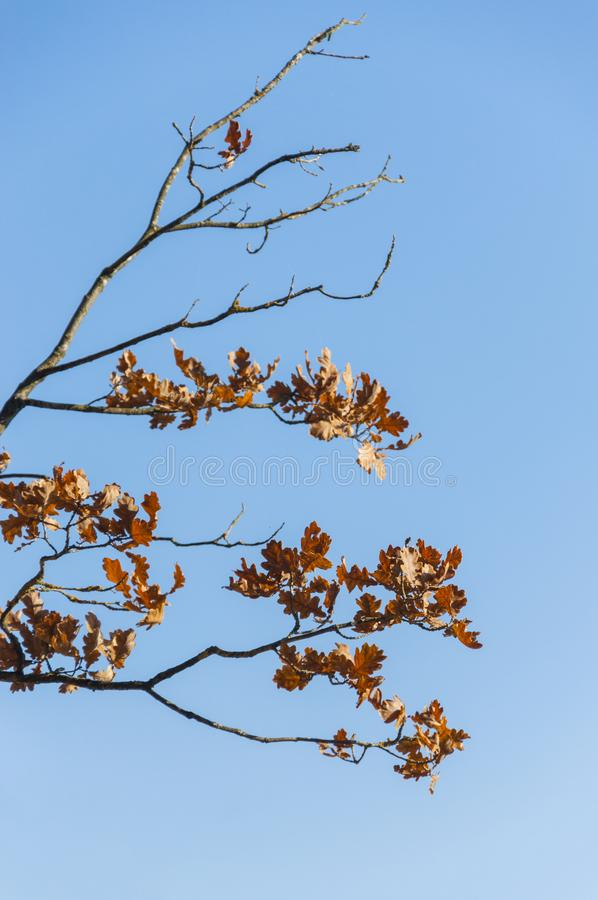 Letzte Eichenblätter auf blauem schlauem Hintergrund lizenzfreie stockbilder