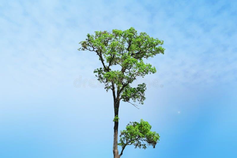 Letzter großer Baumstand allein stockbilder