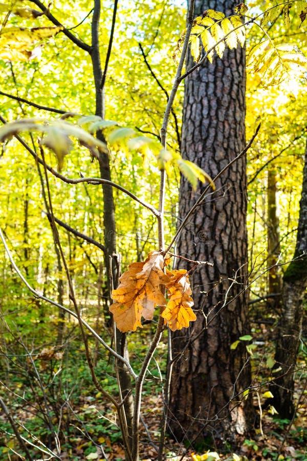 Letztes gefallene Eiche verlässt auf dem Zweig, der durch Sonne beleuchtet wird lizenzfreies stockfoto