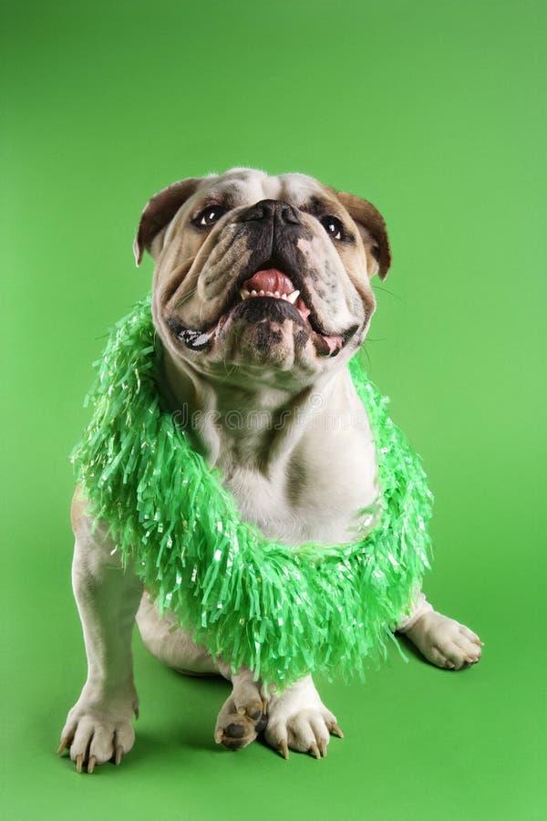 Leu da portare del bulldog inglese. immagine stock libera da diritti