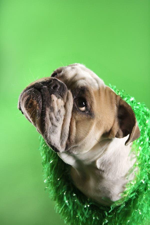 Leu da portare del bulldog inglese. fotografia stock libera da diritti