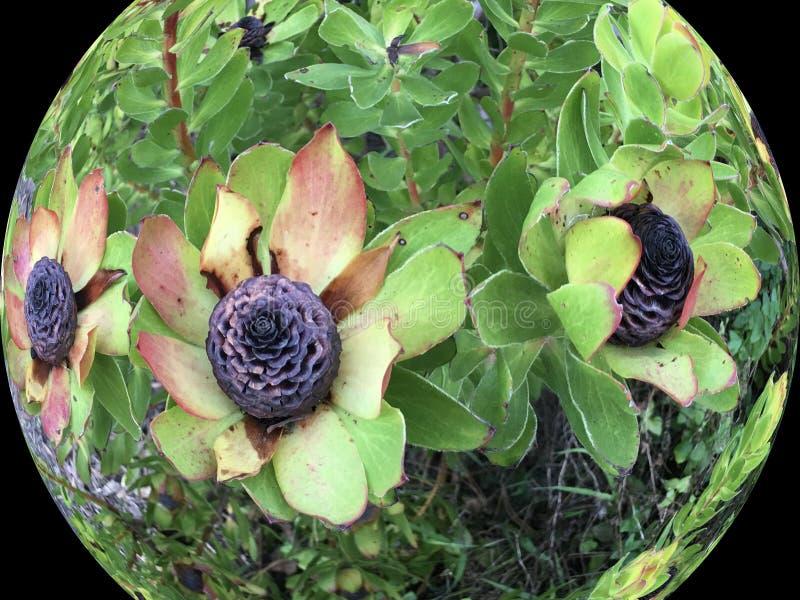 Leucadendron, ebbehout ebbehouten kegelstruik, 2 royalty-vrije stock afbeeldingen