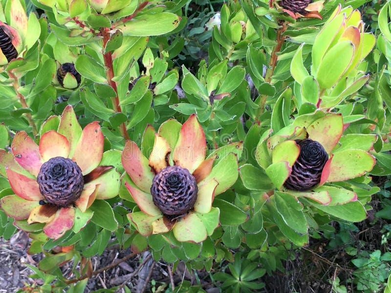Leucadendron, ebbehout ebbehouten kegelstruik, 1 stock afbeelding