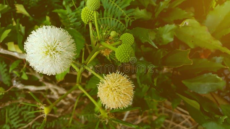 Leucaena leucocephala kwiat w ogródzie fotografia royalty free