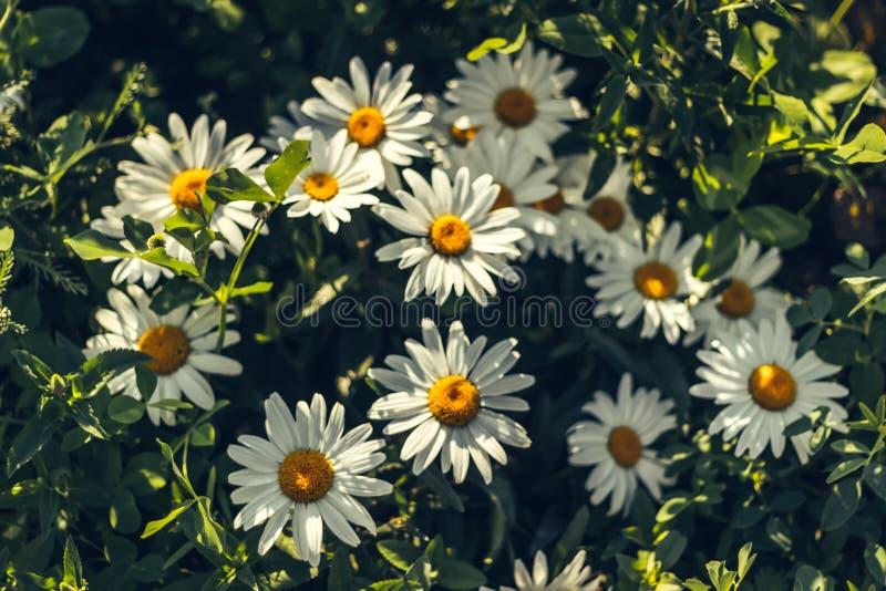 Leucanthemum chryzantemy Maksymalni Biali kwiaty zdjęcie stock